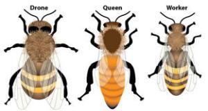 drone_queen_worker